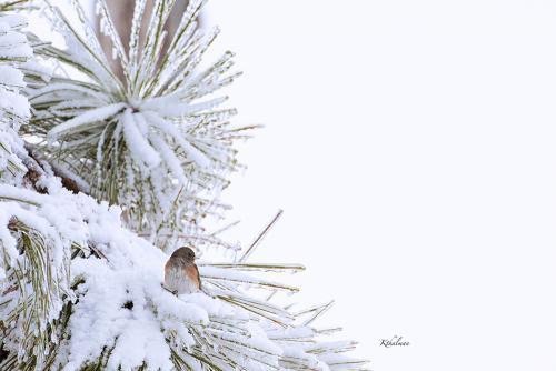 A Snowy Perch by Kathy Thalman