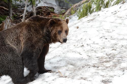 Bear in Canada by Kathy Thalman