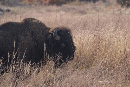 Bison Siesta by Kathy Thalman