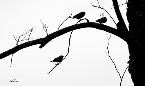 Black and White Birds on a Limb by Kathy Thalman