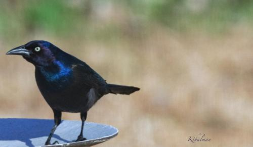 Blackbird or Grackle by Kathy Thalman