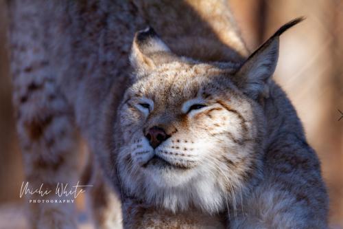 Bob Cat Stretch by Michi White