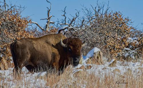 Buffalo - Not Too Close by Kathy Thalman