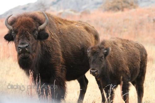 Buffalo by Richard Taylor