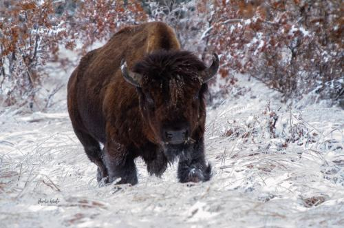 Buffalo in the Snow by Michi White