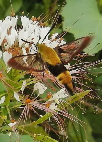 Humming bird moth by Jodie Gisinger