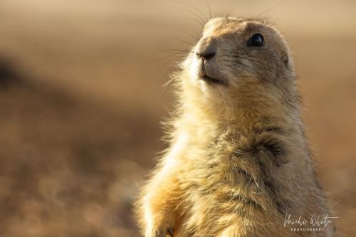 Prairie Dog Shines in the Sun by Michi White