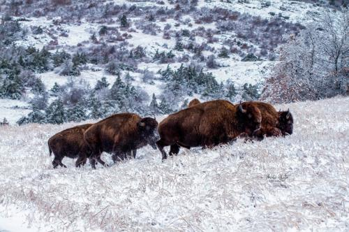 Snowy Bison Herd by Michi White