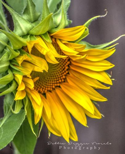 Sunflower by Debbie Duggar
