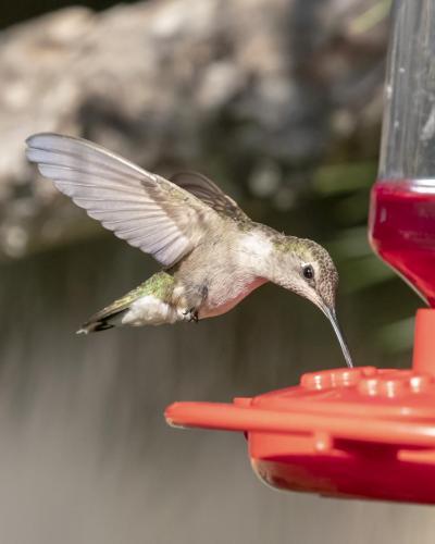 monk hummingbird