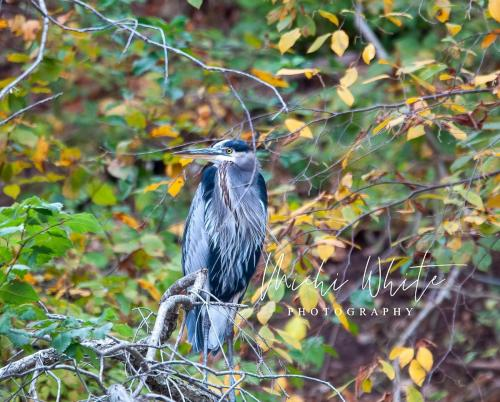Blue Heron keeping watch by Michi White