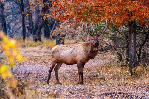 Elk in Fall Foilage by Michi Hubbard