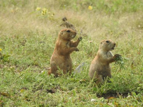 Prairie Dogs on the Refuge by Gil Helland